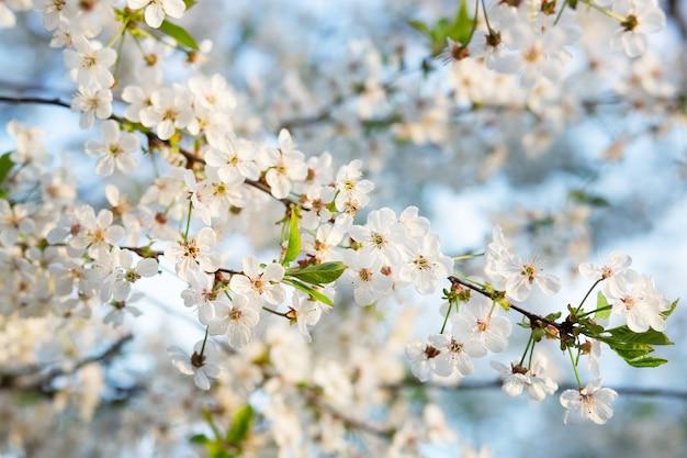 Flor de cerejeira bonita de foco seletivo no jardim contra o céu azul.