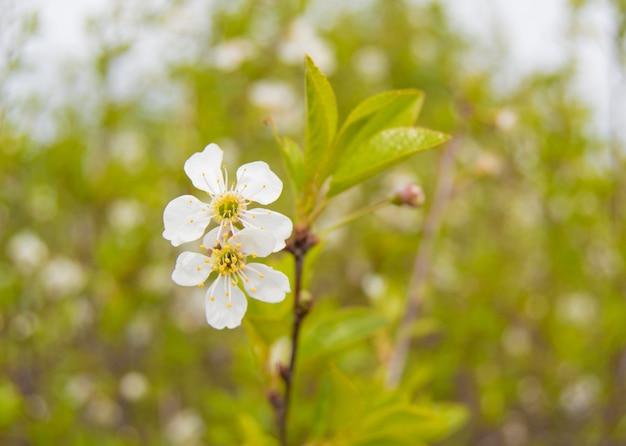 Flor de cerejeira branca com folhas closeup. foco seletivo