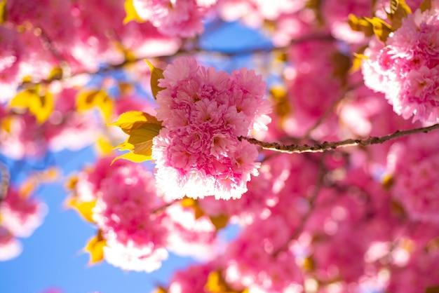 Flor de cerejeira. cerejeira sacura. ramo delicadas flores da primavera. primavera. flores da primavera com fundo azul e nuvens. cereja japonesa. prunus serrulata