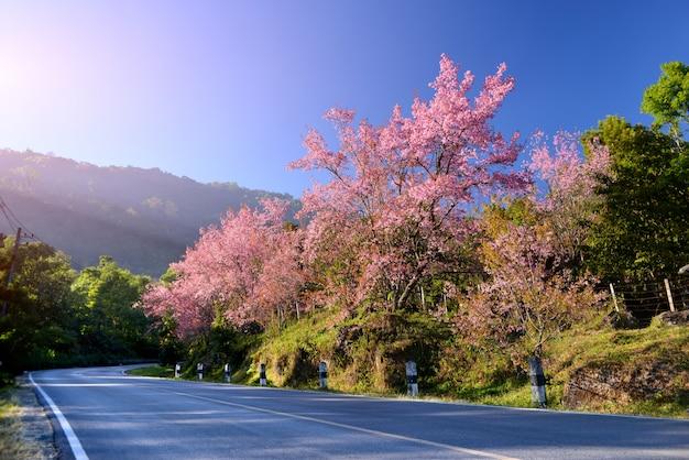 Flor de cerejeira do himalaia selvagem florescendo.