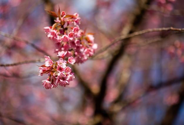 Flor de cerejeira e sakura