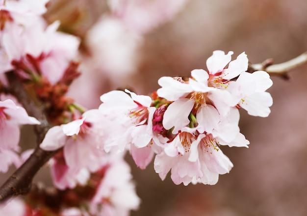 Flor de cerejeira em flor. flores de cerejeira em pequenos aglomerados em um galho de árvore de cereja.