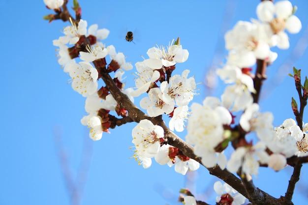 Flor de cerejeira. flor, de, árvore fruta, em, primavera