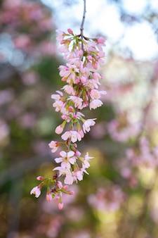 Flor de cerejeira - flor de sakura - cereja japonesa, prunus serrulata