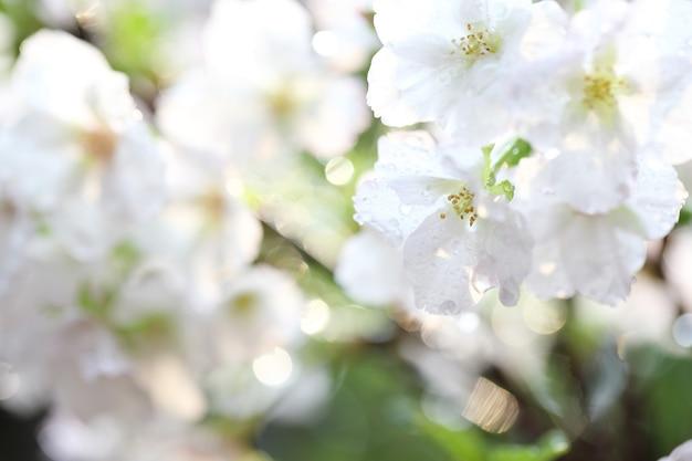Flor de cerejeira, flor de sakura com gota de chuva
