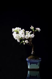 Flor de cerejeira, flor de sakura isolada em fundo preto
