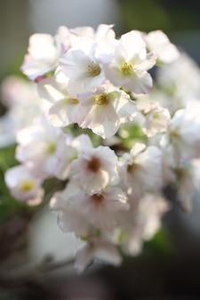 Flor de cerejeira, flor de sakura