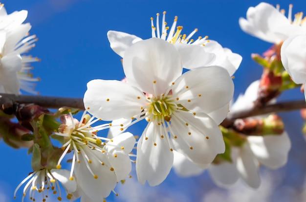 Flor de cerejeira, floração na primavera de árvores frutíferas