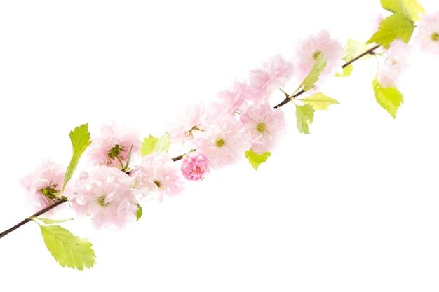 Flor de cerejeira, flores de sakura isoladas no fundo branco