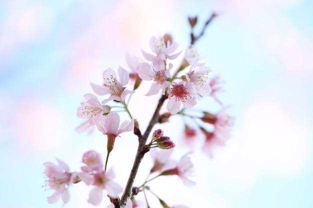 Flor de cerejeira, flores de sakura
