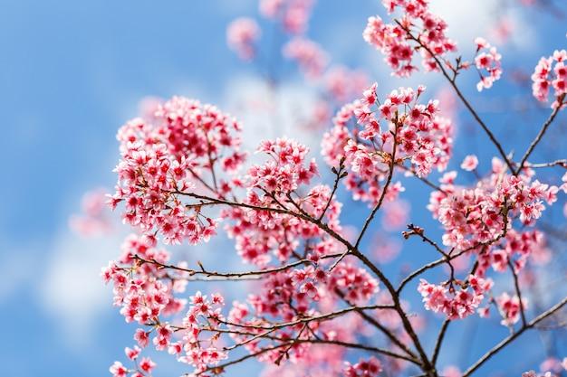 Flor de cerejeira japonesa na primavera