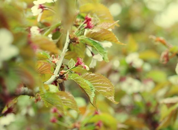 Flor de cerejeira japonesa no início da primavera