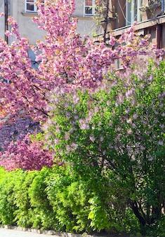 Flor de cerejeira japonesa rosa (cidade de uzhgorod, ucrânia)