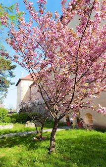 Flor de cerejeira japonesa rosa perto do castelo de uzhhorod (ucrânia)