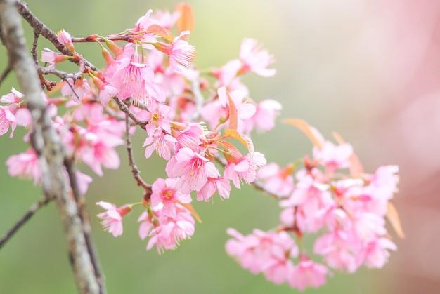 Flor de cerejeira na primavera com foco suave