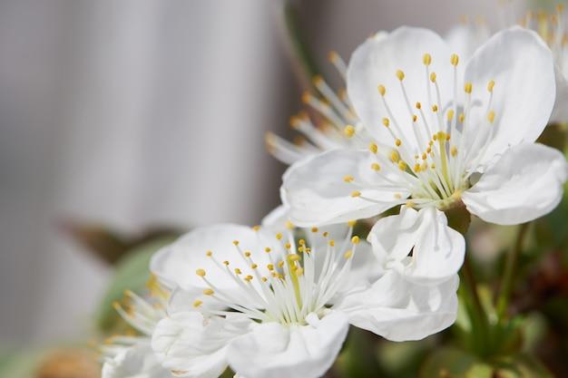 Flor de cerejeira na primavera para o fundo ou copie o espaço para texto