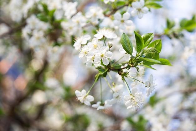 Flor de cerejeira na primavera para o fundo