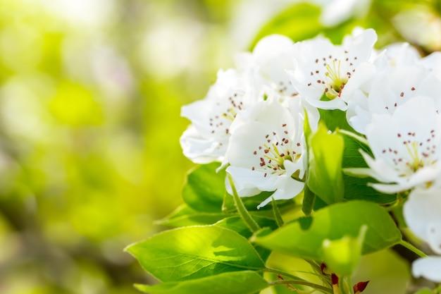 Flor de cerejeira na primavera
