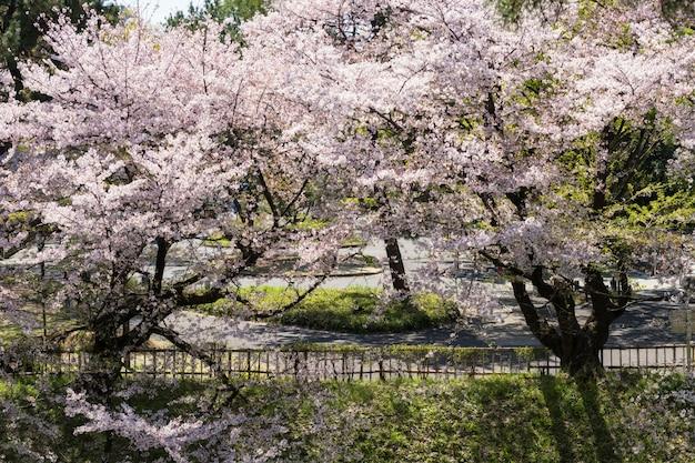Flor de cerejeira no castelo de nagoya