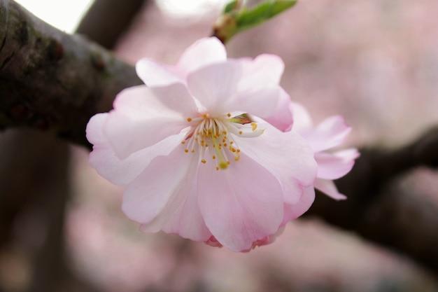 Flor de cerejeira no parque