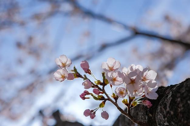 Flor de cerejeira ou rosa sakura flor árvore