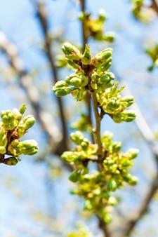 Flor de cerejeira primavera ensolarada