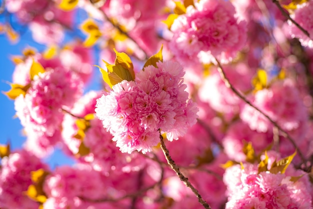 Flor de cerejeira. primavera. flores da primavera com fundo azul e nuvens. cerejeira sacura