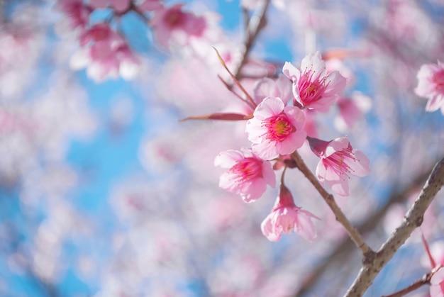 Flor de cerejeira rosa a beleza natural das flores de cerejeira
