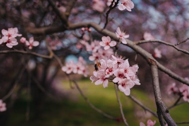 Flor de cerejeira rosa claro sendo polinizada por uma abelha