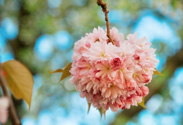 Flor de cerejeira rosa no dia quente de primavera