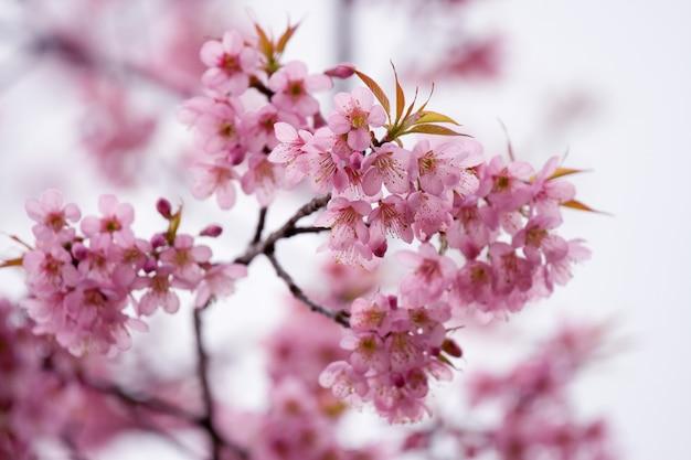 Flor de cerejeira rosa no parque nacional de doi inthanon (chiang mai, tailândia)