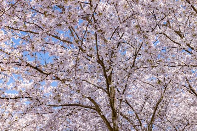 Flor de cerejeira rosa (sakura) no parque