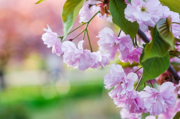 Flor de cerejeira, sakura linda primavera rosa flores close-up em vegetação embaçada