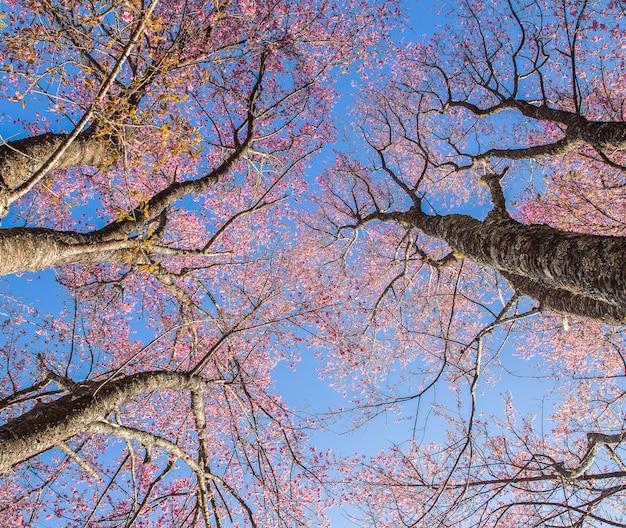 Flor de cerejeira sakura rosa fechar no japão