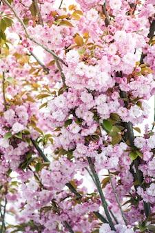 Flor de cerejeira. sakura.