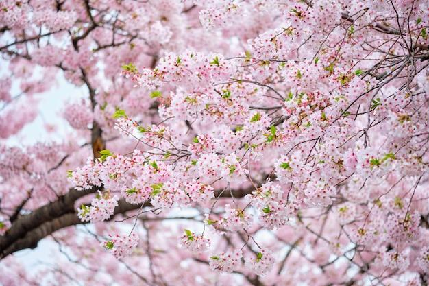Flor de cerejeira sakura
