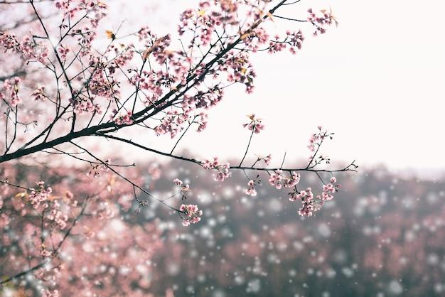 Flor de cerejeira selvagem do himalaia, linda flor rosa de sakura no inverno com paisagem de neve