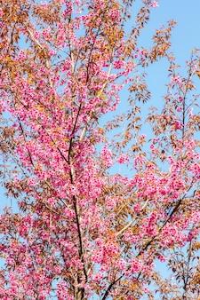Flor de cerejeira selvagem do himalaia (prunus cerasoides)