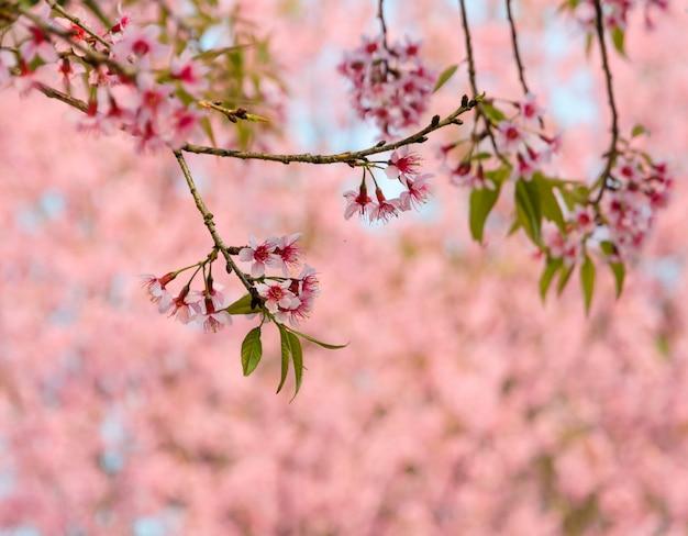 Flor de cerejeira selvagem do himalaia
