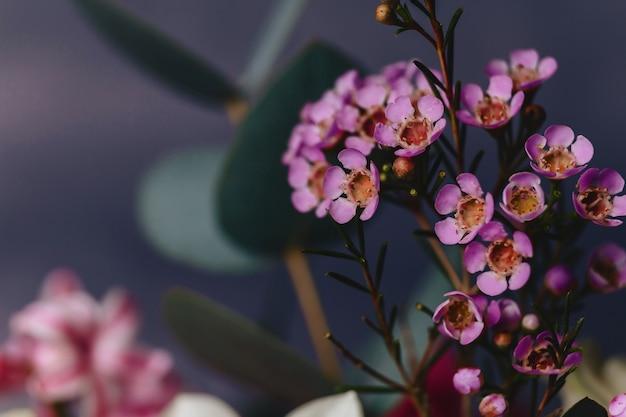 Flor de chamelaucium em fundo simples
