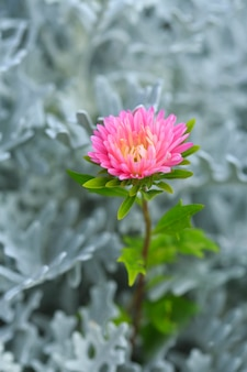 Flor de china aster com fundo empoeirado miller