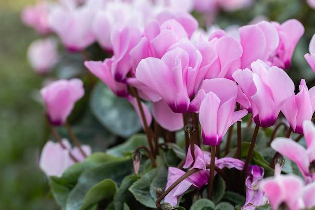 Flor de ciclame no jardim no ensolarado dia de verão ou primavera