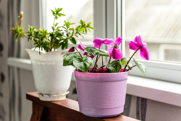 Flor de ciclâmen de quarto que floresce na varanda. botas de água e flores.