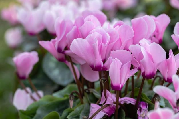 Flor de ciclâmen rosa no jardim