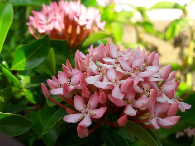 Flor de cor rosa bonita de perto