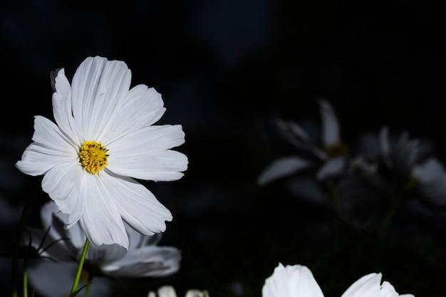 Flor de cosmos branco close-up em preto