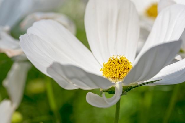Flor de cosmos branco no campo.
