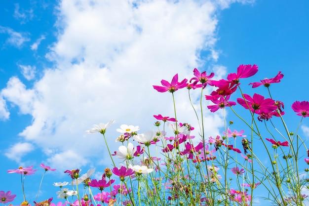 Flor de cosmos e céu azul | Foto Premium