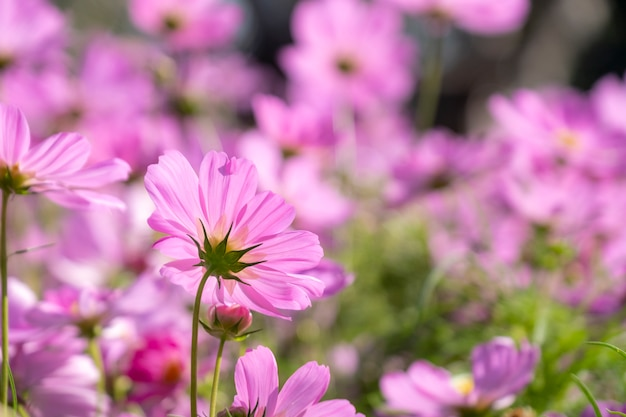 Flor de cosmos rosa close-up no campo.