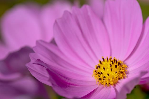 Flor de cosmos rosa close-up.